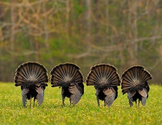 4 Turkeys Fanning
