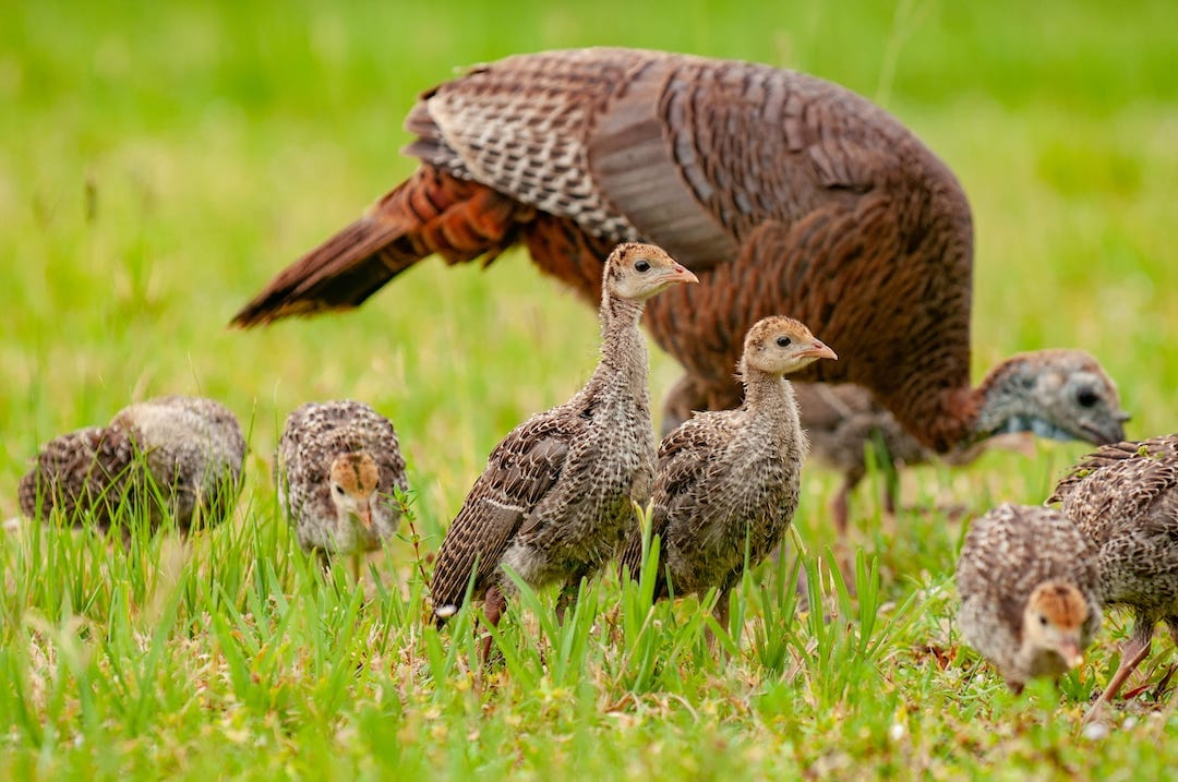 Turkey Poults and Hen in BG
